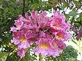 Handroanthus impetiginosus (Mart. ex DC.) Mattos.jpg