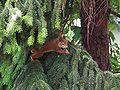 Hangelndes Eichhörnchen.JPG