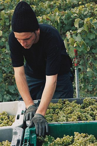 Sparkling wine - While harvesting grapes destined for sparkling wine, premium producers will take extra care to handle the grapes as gently as possible in order to minimize the extraction of harsh phenolic compounds from the skin.
