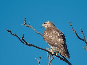 A red-tail hawk