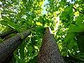 Hazelnut tree.jpg