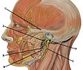 Head facial nerve branches TZBMC.jpg