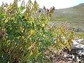 Hedysarum occidentale (29169630336).jpg