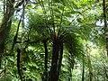 Helecho gigante - panoramio.jpg