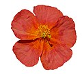 Helianthemum 'Fire Dragon' (2005-0055*A) isolated on white.jpg