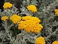 Helichrysum moeserianum 2.jpg