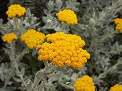 definition of helichrysum