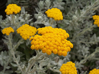 Helichrysum - Image: Helichrysum moeserianum 2