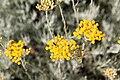 Helichrysum orientale-Immortelle d'orient-20150605.jpg