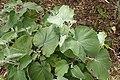 Helichrysum populifolium kz1.jpg