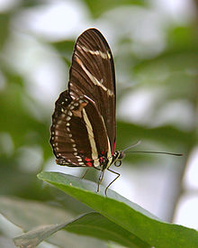Heliconius charithonia ventral.jpg