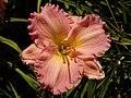 Hemerocallis Pink Flirt 2020-07-30 2281.jpg