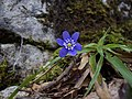 Hepatica nobilis Croatia.JPG