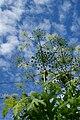 Heracleum mantegazzianum 1.jpg