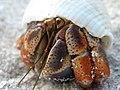 Hermit Crab (3857739534).jpg