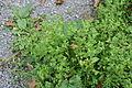 Herne - Mont Cenis - Euphorbia peplus 02 ies.jpg
