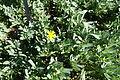 Hertia cheirifolia - Jardín Botánico de Barcelona - Barcelona, Spain - DSC09200.JPG