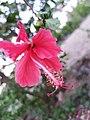 Hibiscus rosa-sinencis.jpg