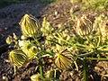 Hibiscus trionum sl49.jpg