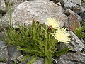 Hieracium intybaceum R0018216.JPG