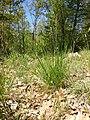 Hierochloe australis sl54.jpg