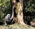 Himalayan Baboon.png