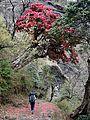 Himalayan Beauty.jpg