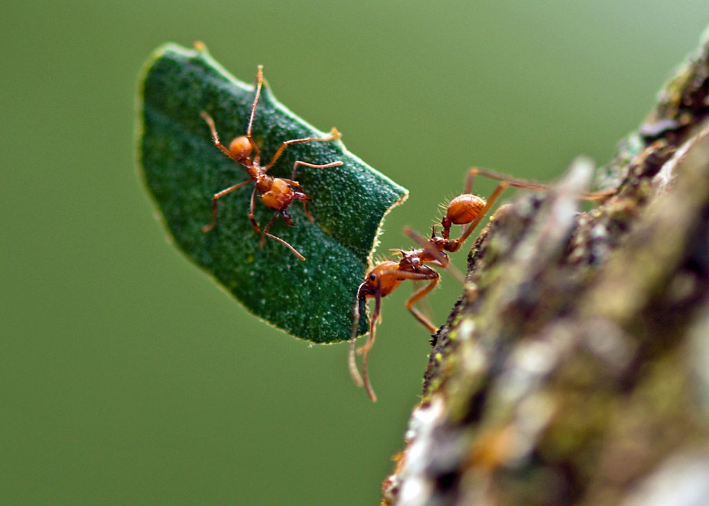 Hitchiking leafcutter ant