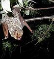 Hoary bat Lasiurus cinereus.jpg