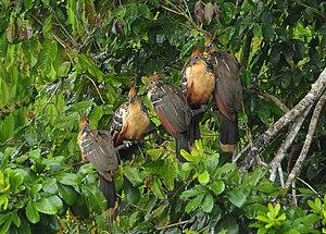 Hoatzin - Group of five in Peru