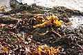 Holbeton, seaweed - geograph.org.uk - 628024.jpg