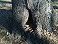 Hollow tree.JPG