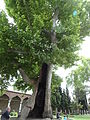 Hollow tree in Topkapi Palace, Istanbul, Turkey (9603569503).jpg