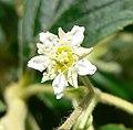 Holodiscus argenteus 4.jpg