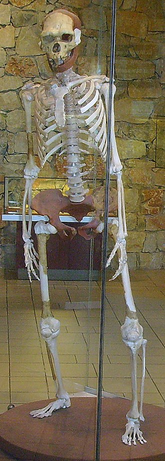 Homo erectus - Reconstructed skeleton of  Tautavel Man