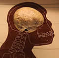 Homo rudolfensis endocast - Smithsonian Museum of Natural History - 2012-05-17.jpg