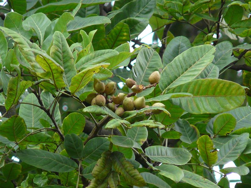 File:Honey tree (2772173284).jpg