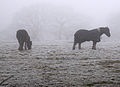 Horses in the fog (3154883490).jpg