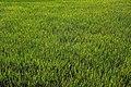 Hpa An rice fields 3.jpg