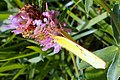 Hufeisenklee-Gelbling (Colias alfacariensis) (6).jpg
