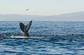 Humpack whale and seal lions feeding in Monterey Bay.jpg
