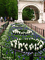 Hyacinthus (in a flowerbed) 01.JPG