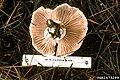 Hygrophorus purpurascens.jpg