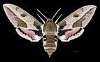 Hyles euphorbiae MHNT CUT 2010 0 209 Forêt de Fontainebleau France female dorsal.jpg