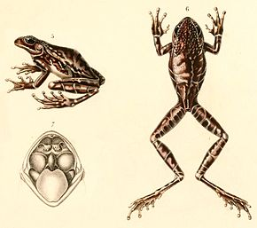 Description de l'image Hypsiboas alboniger 1847.jpg.