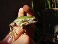 Hypsiboas pulchellus hembra.jpg