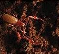 Ideoroncus cavicola (10.3897-subtbiol.19.8207) Figure 2 (cropped).jpg