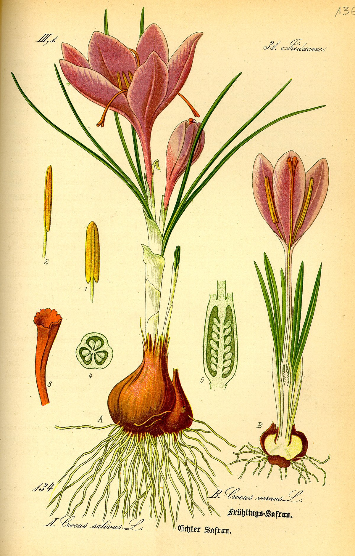 Zafferano Fiori Gialli.Crocus Sativus Wikipedia