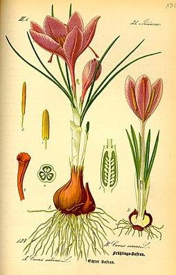 Krokus-Arten: Links: Crocus sativus, Rechts: Crocus vernusIllustration aus Thomé:  Flora von Deutschland,Oesterreich und der Schweiz (1885)