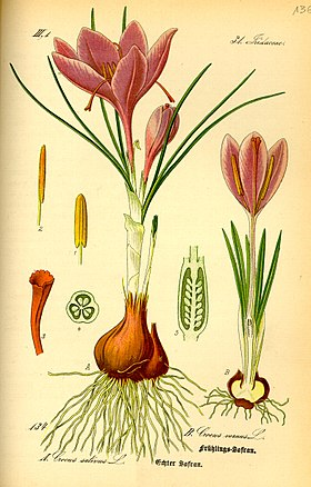 Illustration Crocus vernus0.jpg